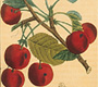 "Cherry tree from Chaumeton's ""Flore Medicale,"" 1831-33"
