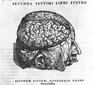 Cerebral cortex, corpus callosum