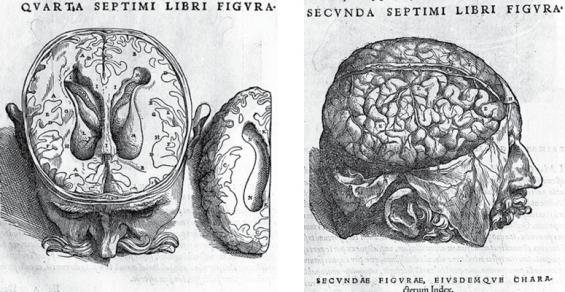 Lateral ventricles, Vesalius; Cerebral cortex, corpus callosum Vesalius